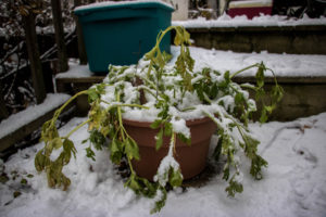 Can Plants Recover From A Freeze