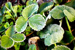 Should You Water Plants After A Frost
