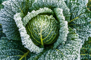 What Vegetables Can Survive Winter